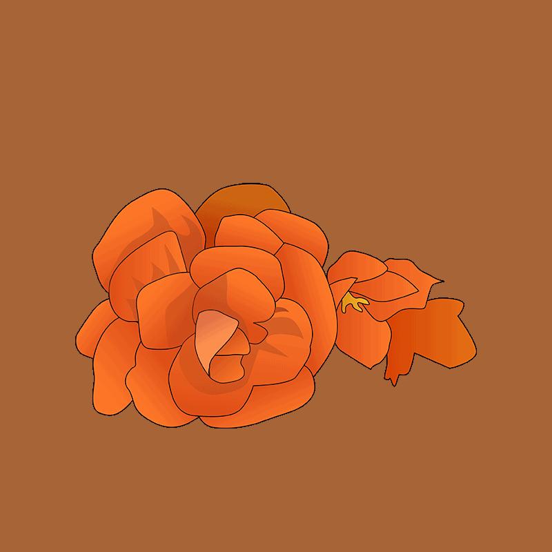 Begonia orange flower