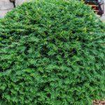types of shrubs